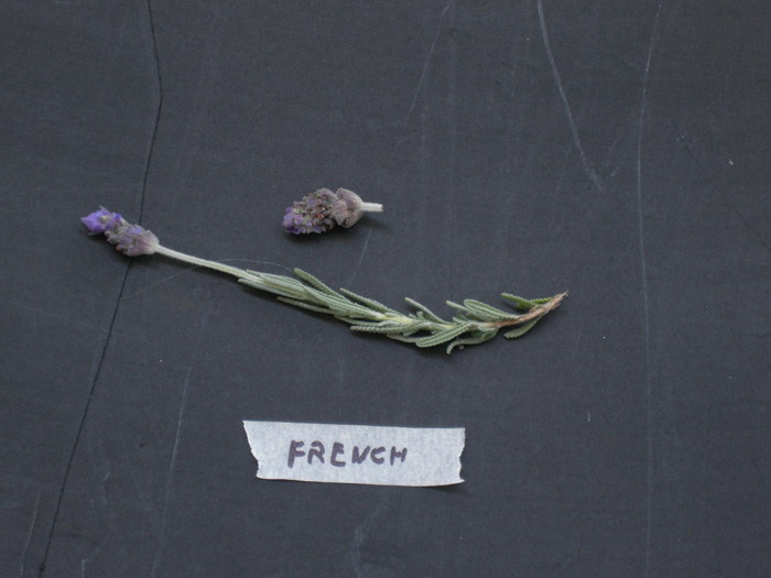 French lavender plant photos